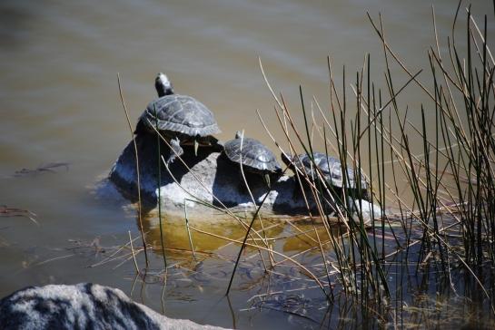 Turtle trio