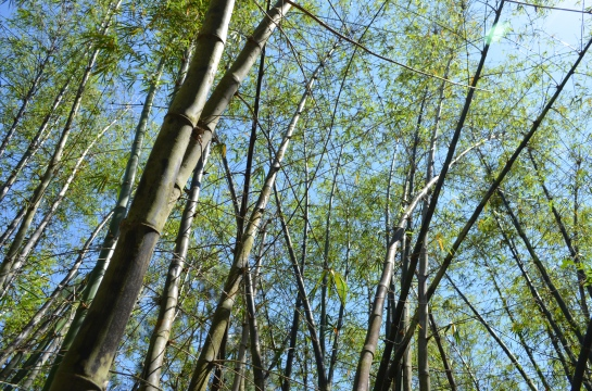 Bamboo forest, Morikami Gardens, Delray Beach, Fla.