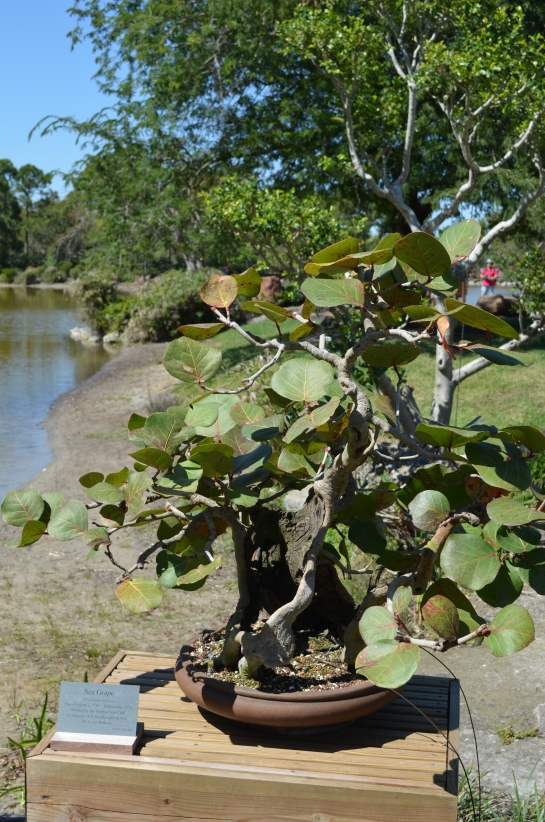 Sea Grape Bonsai Tree Morikami Gardens Delray Beach Fla