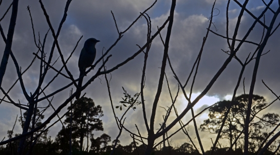 Scrubjay ponders the edge of night