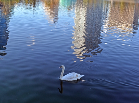 Pastel reflections for swan in Lake Eola, Orlando