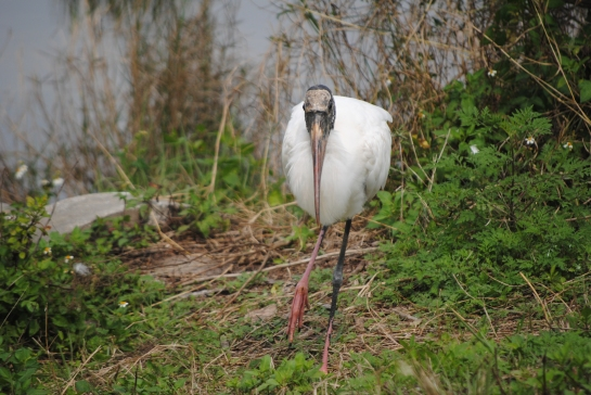 Wood stork: a face only a mother could love