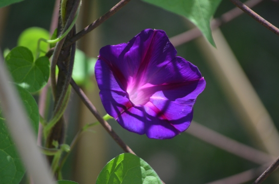 Morning Glory grown from seed