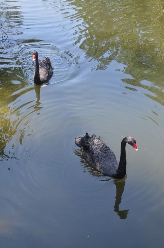 Black swans at Brevard Zoo