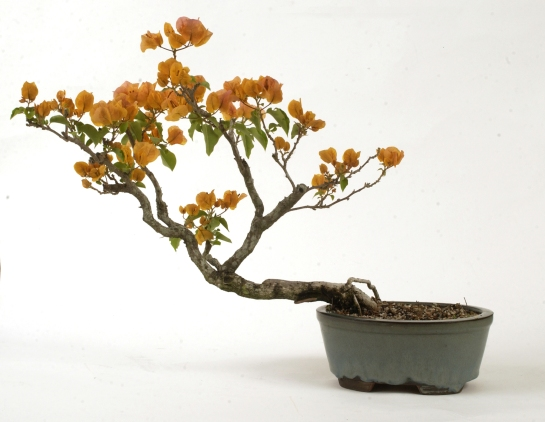 One of my early bonsai trees