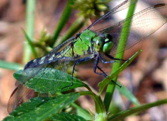 Green dragon(fly) tries to hide in the grass