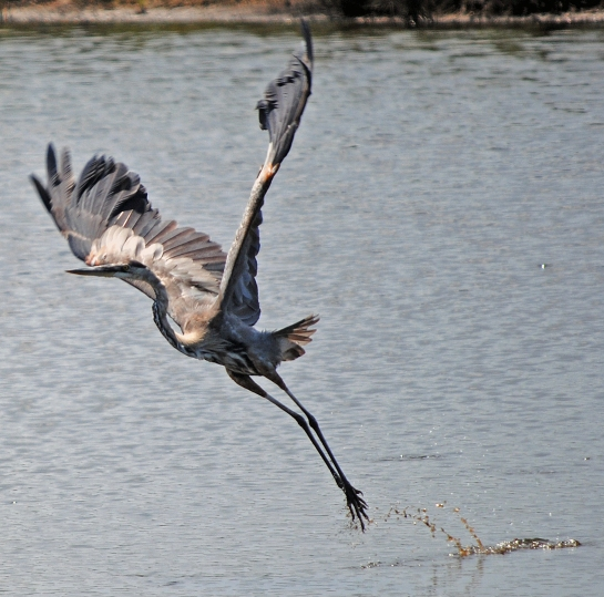 Take off, Black Point Wildlife Drive, Merritt Island National Wildlife Refuge.