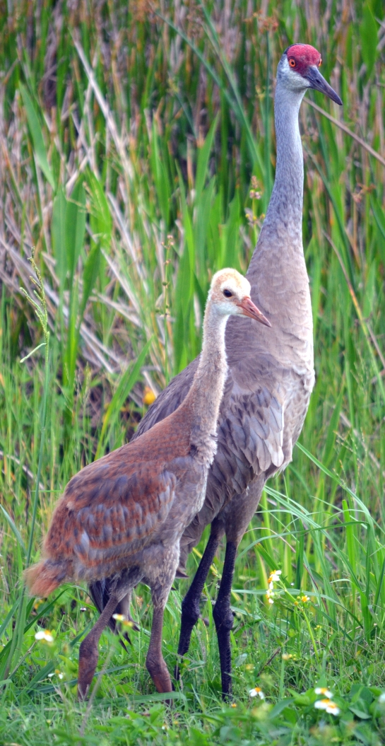 Sandhill Crane hatchling growing up in Viera Wetlands
