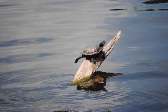 Balance is important in life. Ask this turtle.