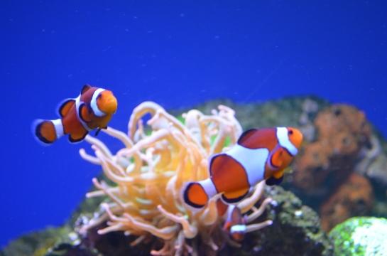 Twin Nemos
