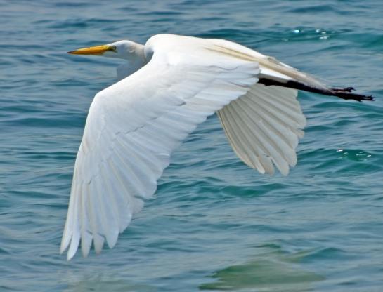 White bird wing flap 2, Sebastian Inlet
