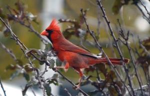 cardinalinrain2