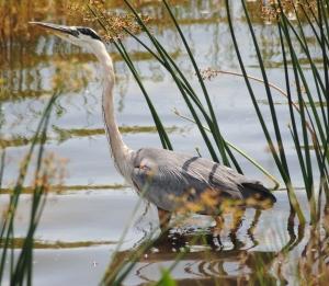 wadingheron