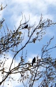 blackbirdsky