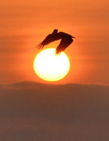 pelicanhold