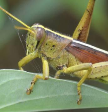 grasshop