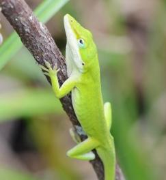 lizardface