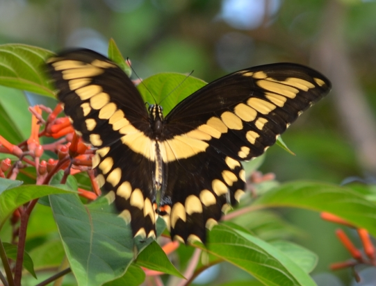 butterflyaugust